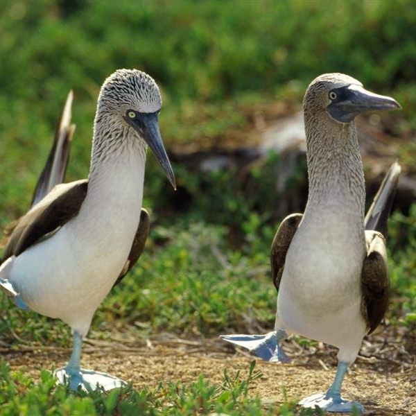 Duewets' 2 Blue Footed Boobies
