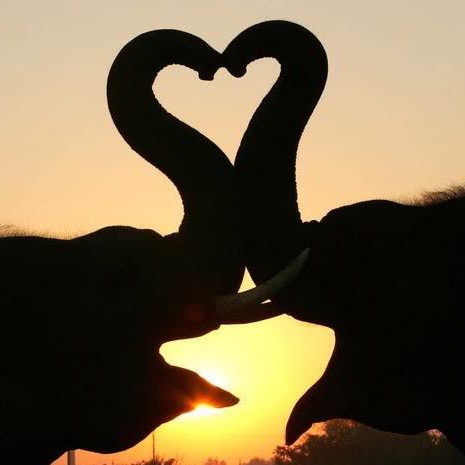 Songs for the elephants in love