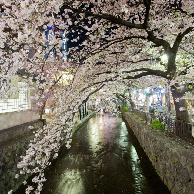 Tea under the Cherry Blossom Trees in Gion