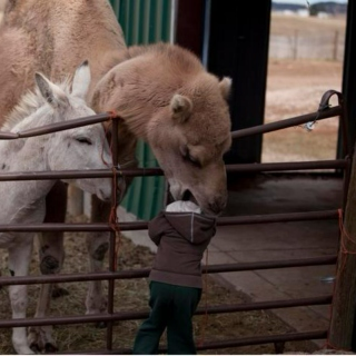 -Maneater Camels! They Prey On Our Children!
