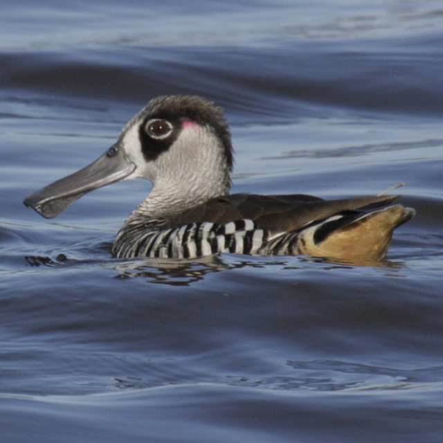 The Joy of the Pink-eared Duck