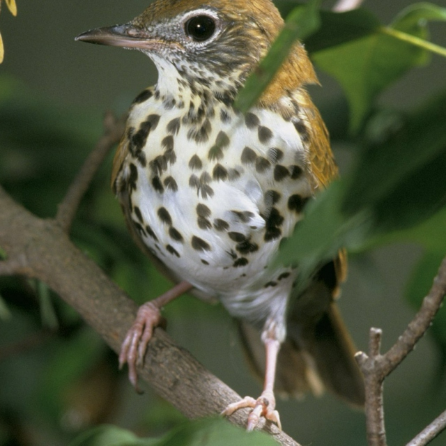 Wood Thrush (At 1/4th Speed)