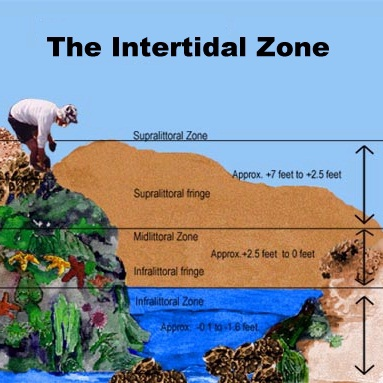 the intertidal zone Examines the plants and animals inhabiting the intertidal zone and their adaptations to the ocean's diurnal rhythm filmed on location in british.
