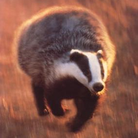 Escape Them Other Badgers