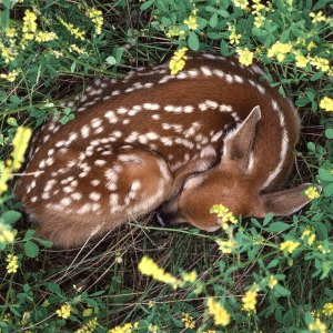 where deer sleep
