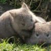 Btrxz's A Wombat Rolling With His Bro In The Grass