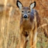 Another Autumn Fawn