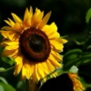 Sunflower smiles