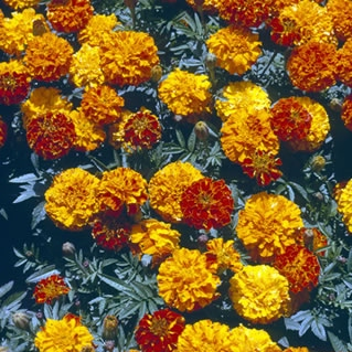 my cold marigolds