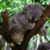 Sleepy like a koala bear
