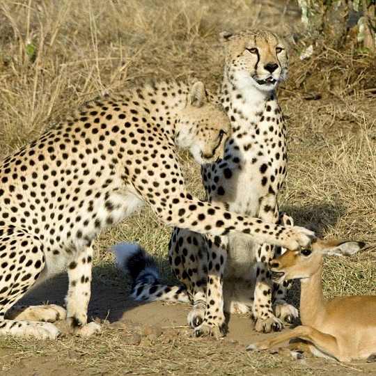 Impalas And The Taming Thereof