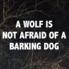 a wolf is not afraid of a barking dog