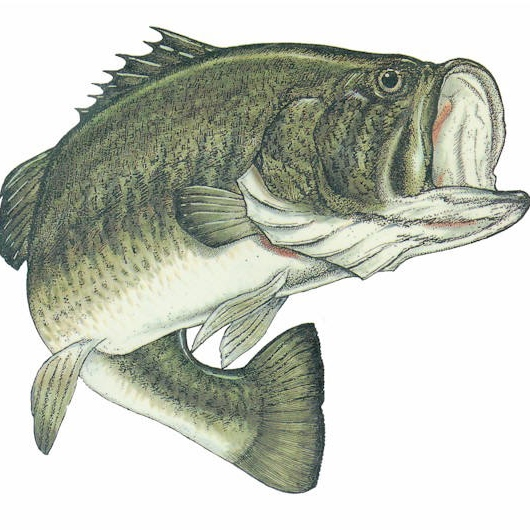 Bass (not the fish)