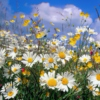 in a field of daisies