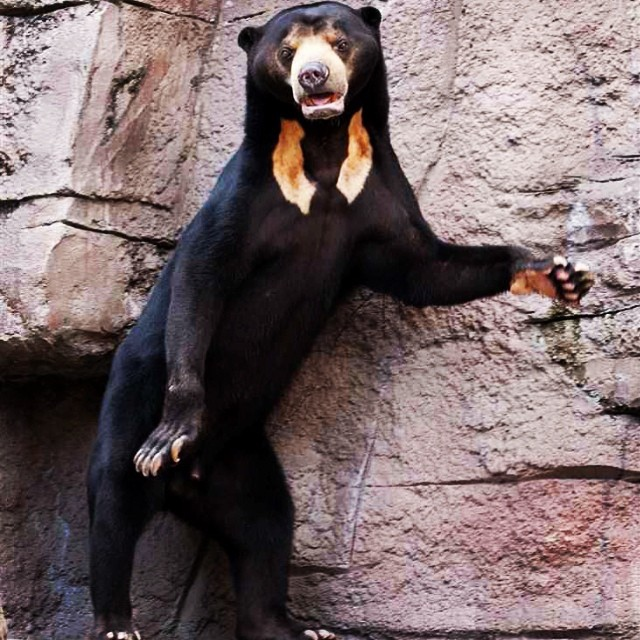 sun bears are cooler than your music