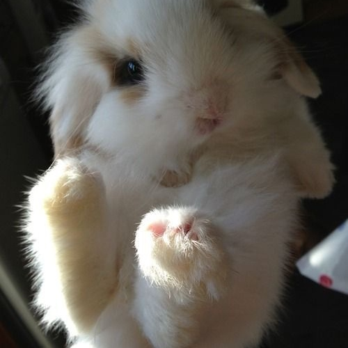 I am almost certain that my bunny is called Diantha