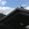 Goose on roof