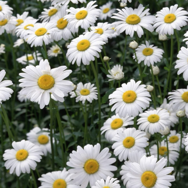 She smelled of daisies