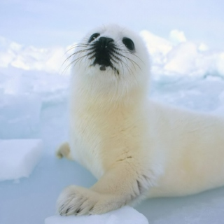 Baby Seal's Ride to Battle