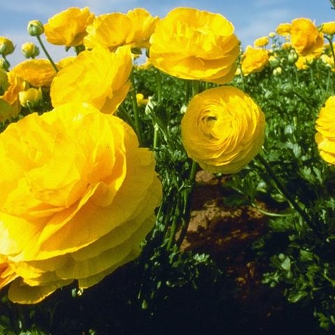 The Buttercup Forest