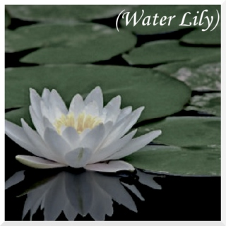 (Water Lily)