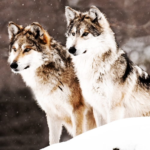 With the wild wolves around you.