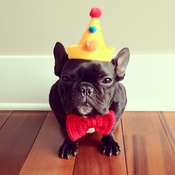 Party bulldog
