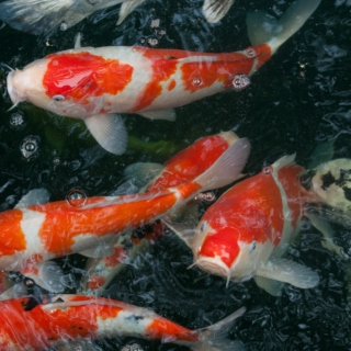 the koi lake