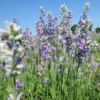 lavender and poetry