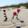 roses in the sand