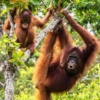 for the Orangutans...