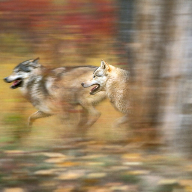 Running with wolves.