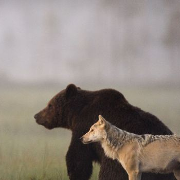 The Bear and the Wolf