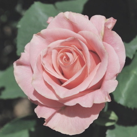 for my (american) rose