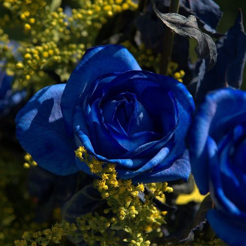 I. The Ring of Blue Roses