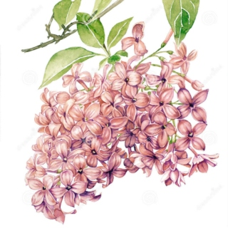 Lilacs and Sunlight