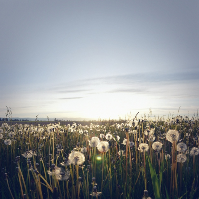 Summertime and Dandelions