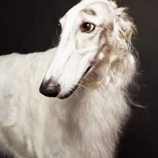 Relaxing Borzoi