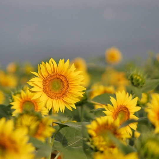 i'll be your sunflower