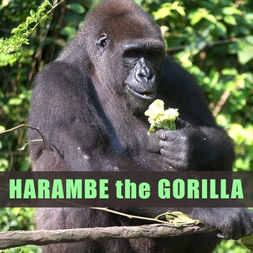 Trappin for Harambe