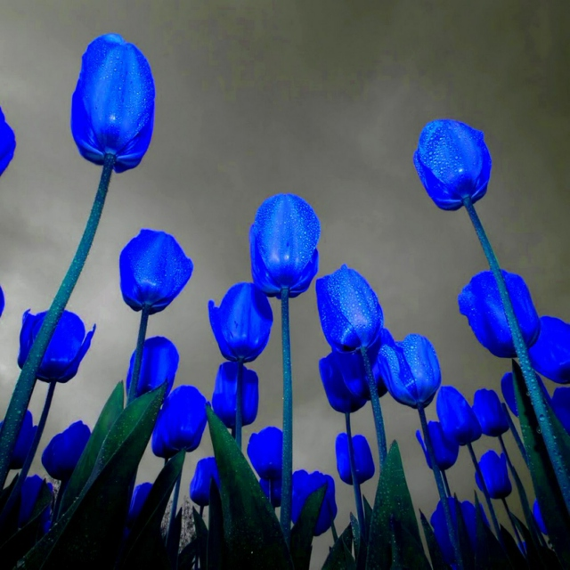 Tulips Are Better Than One!