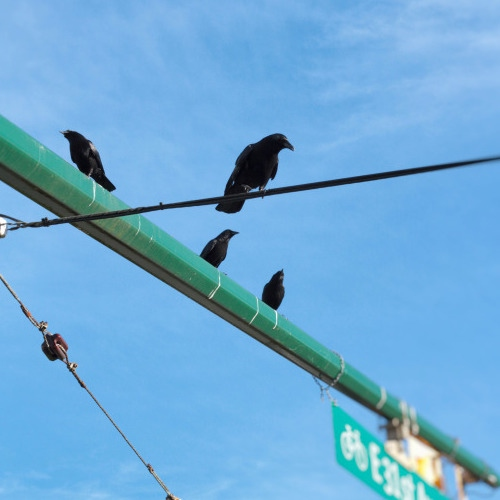 and so the crows said to me,