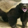 The Honey Badger was Inside YOU all along
